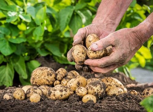 Chế phẩm tổng hợp giúp cân bằng khu hệ vi sinh vật và phát triển đất - cho Khoai tây