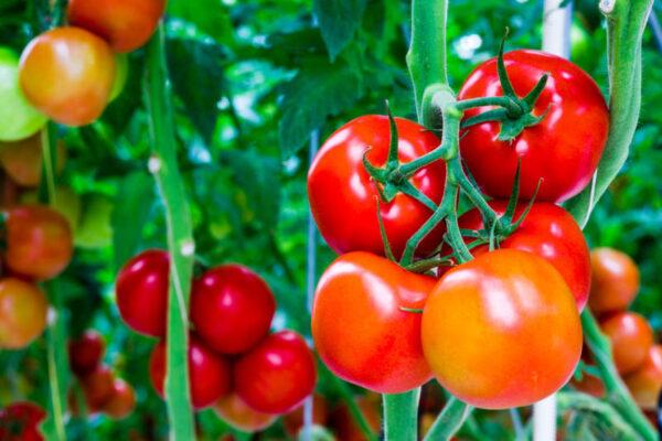 Chế phẩm vi sinh giúp phát triển hệ vi sinh vật và diệt nấm gây bệnh cho cây - NQT- Cho cây cà chua